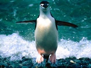 Пингвин был в бегах два месяца