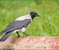 Вороны способны различать голоса людей