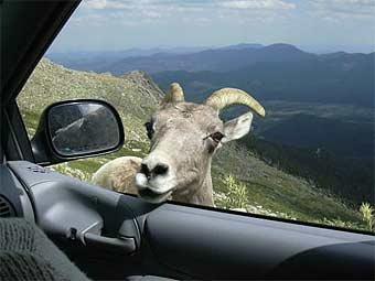 Агрессивный козел нападал на машины