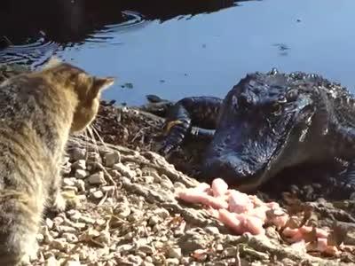 Кот против крокодила (видео)