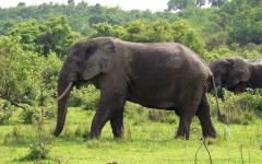 У слонов обнаружили «шестой палец»